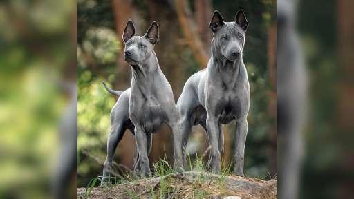 Thajský ridgeback – modré šteniatka s PP. - Thai Ridgeback (338)