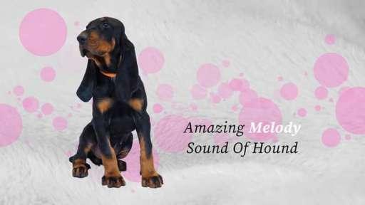 Šteniatka Black and Tan Coonhound hľadajú milujúci domov - Black and Tan Coonhound (300)