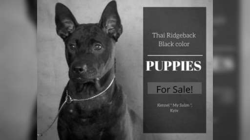 Thai Ridgeback PUPPY  - Thajský ridžbek (338)