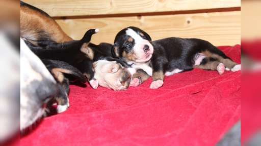 Velký švýcarský salašnický pes  - Veľký švajčiarsky salašnícky pes (058)