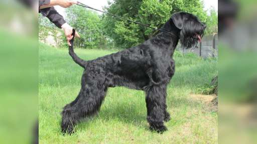 Velký bradáč - psík k odberu - Bradáč veľký (181)