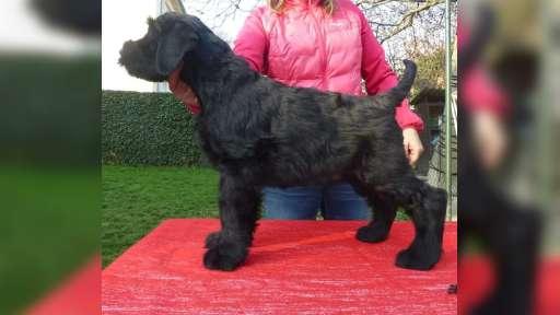 Knírač velký černý s PP-štěně - Bradáč veľký (181)