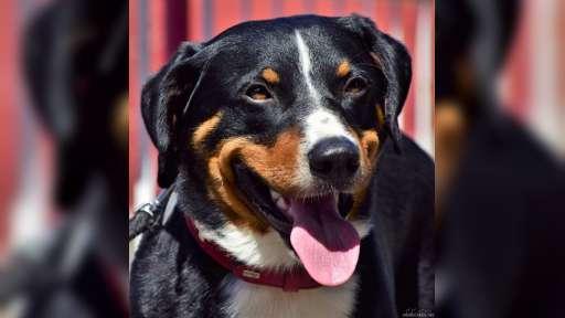 Appenzellský salašnický pes-Krycí pes česká republika - Appenzellský salašnícky pes (046)
